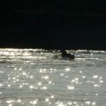 Glitzerndes Wasser mit einer Ente